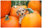 Cute dog in pumpkins